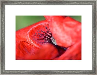 Blink Of A Poppy Framed Print by Modern Art Prints