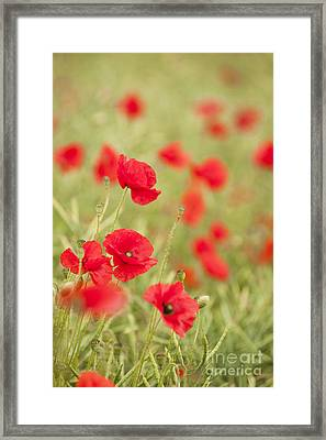 Poppy Red Framed Print by Anne Gilbert