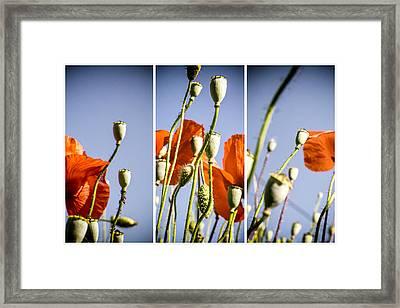 Poppy Triptych Framed Print by Georgia Fowler