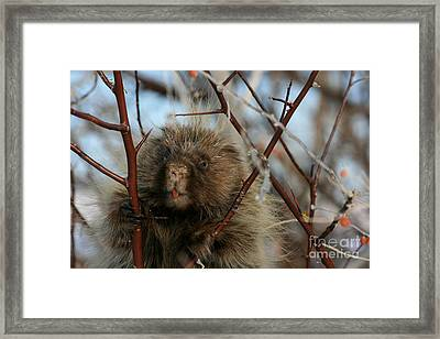 Porcupine And Berries Framed Print by Marty Fancy