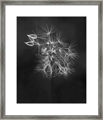 Portrait Of A Dandelion Framed Print by Rona Black