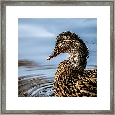 Portrait Of A Duck Framed Print by Bob Orsillo