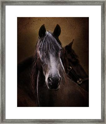 Portrait Of A Friesian Framed Print by Pamela Hagedoorn