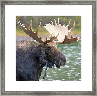 Portrait Of A Glacier Moose Framed Print by Adam Jewell