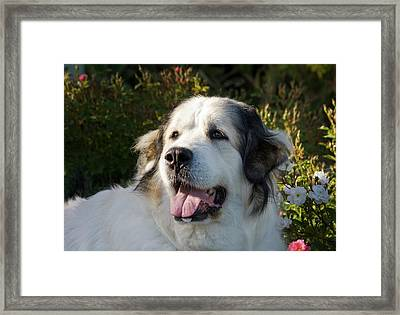 Portrait Of A Great Pyrenees Framed Print by Zandria Muench Beraldo