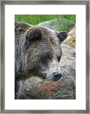 Portrait Of A Grizzly Bear Framed Print by Jim Fitzpatrick
