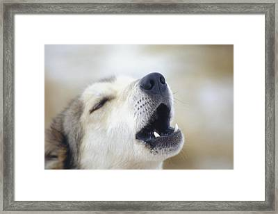 Portrait Of A Howling Sled Dog Winter Framed Print by Keri Scaggs