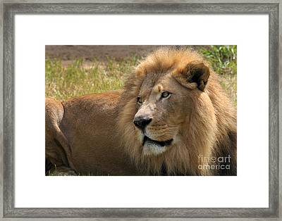 Portrait Of A Lion Framed Print by Dan Holm
