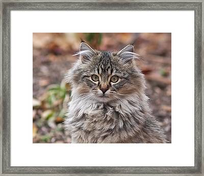 Portrait Of A Maine Coon Kitten Framed Print by Rona Black