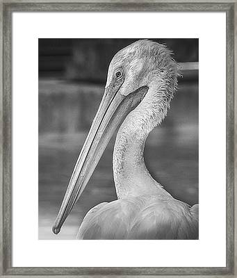 Portrait Of A Pelican Framed Print by Jon Woodhams