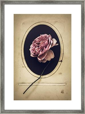 Portrait Of A Rose Framed Print by Amy Weiss