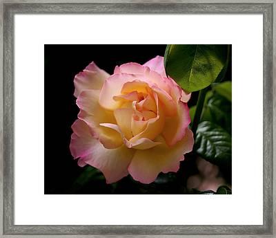 Portrait Of A Rose Framed Print by Rona Black