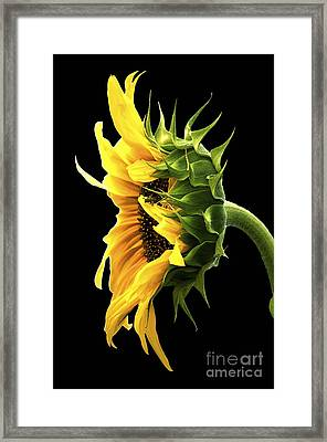 Portrait Of A Sunflower Framed Print by Gwyn Newcombe