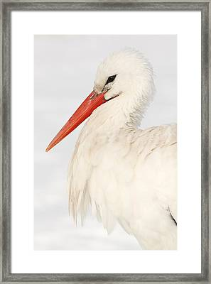 Portrait Of A White Stork In The Snow Framed Print by Roeselien Raimond