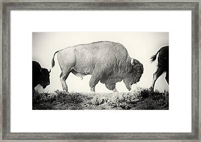 Portrait Of A Yellowstone Bison Framed Print by Shane Linke