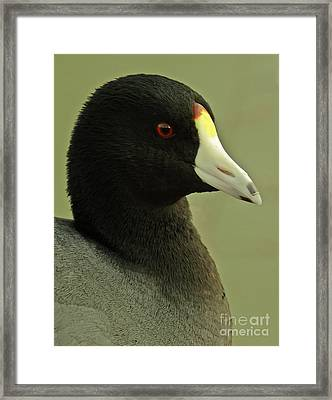 Portrait Of An American Coot Framed Print by Robert Frederick