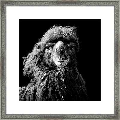 Portrait Of Camel In Black And White Framed Print by Lukas Holas