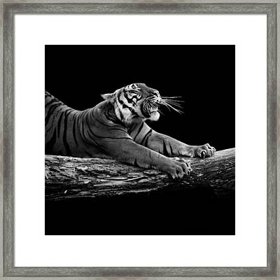 Portrait Of Tiger In Black And White Framed Print by Lukas Holas