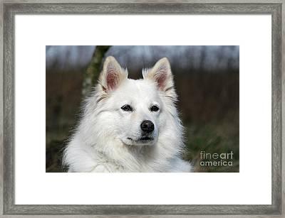 Portrait White Samoyed Dog Framed Print by Dog Photos