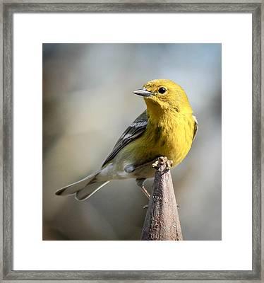Posing Pine Warbler Framed Print by Jim Hatley