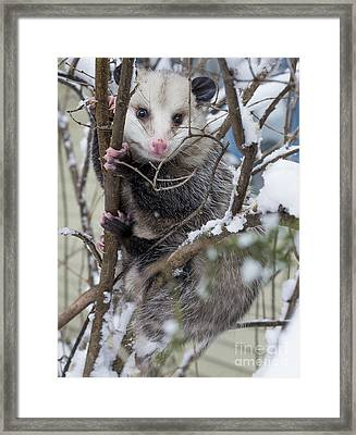 Possum Framed Print by Steven Ralser