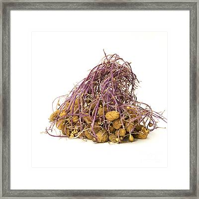 Potato Framed Print by Bernard Jaubert