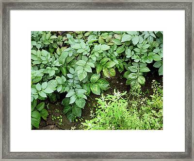 Potato Mop-top Virus Infection Framed Print by Courtesy Of Crown Copyright Fera