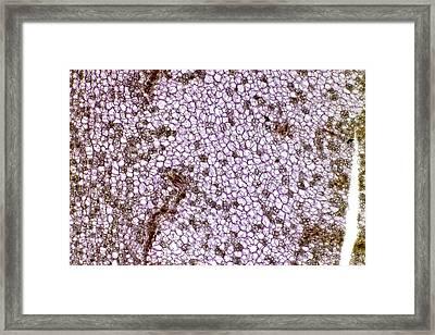 Potato Starch Grains Framed Print by Dr Keith Wheeler