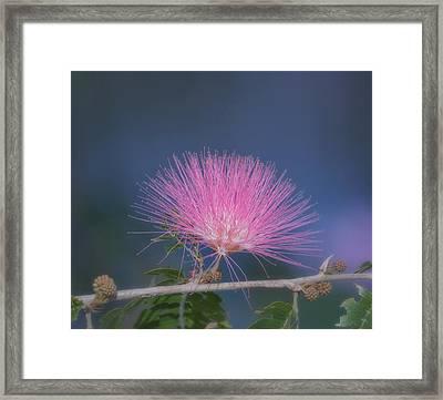 Powder Puff Blossom Framed Print by Kim Hojnacki