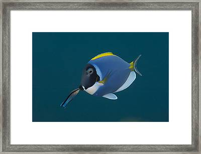Powderblue Surgeonfish With Wrasse Framed Print by Science Photo Library
