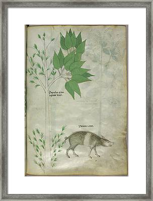 Pplant And A Boar Framed Print by British Library