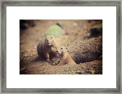 Prairie Dogs Framed Print by Karol Livote