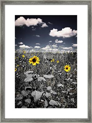 Prairie Sunflowers  Framed Print by Elena Elisseeva