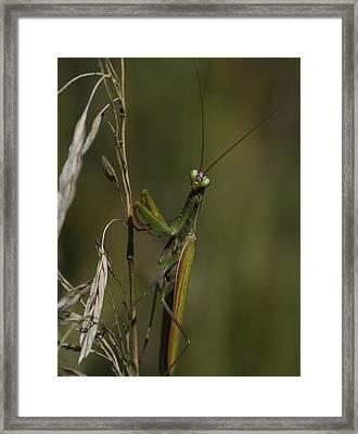 Praying Mantis 2 Framed Print by Rae Ann  M Garrett