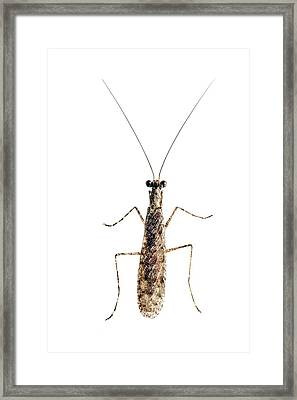 Praying Mantis Framed Print by Alex Hyde