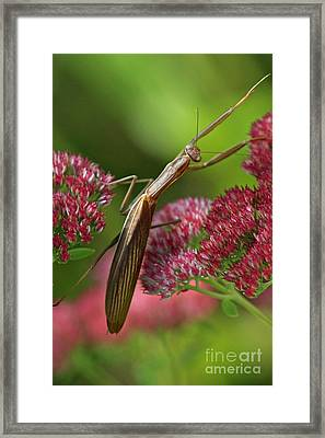 Praying Mantis Climbing Up Sedium Flower Framed Print by Inspired Nature Photography Fine Art Photography
