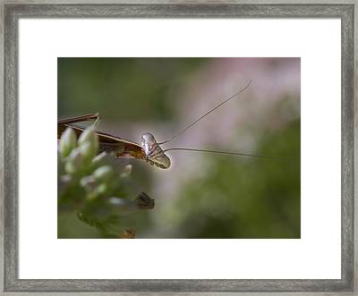 Praying Mantis Curiosity Framed Print by Jean Noren