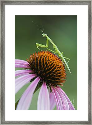 Praying Mantis - D008022 Framed Print by Daniel Dempster