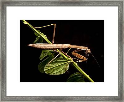Praying Mantis  Framed Print by Jean Noren