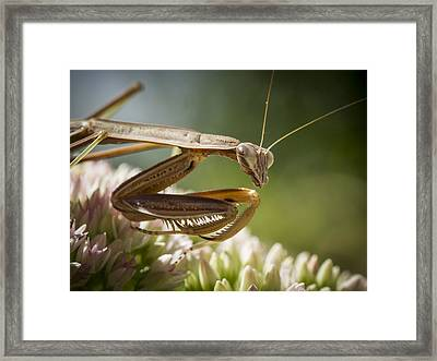 Praying Mantis Looking Around Framed Print by Jean Noren