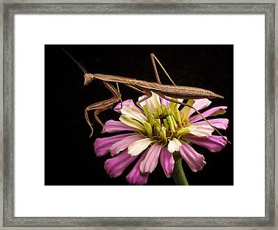 Praying Mantis On Zinnia Framed Print by Jean Noren