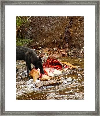 Predatory Wolf Framed Print by Jacob Knaup