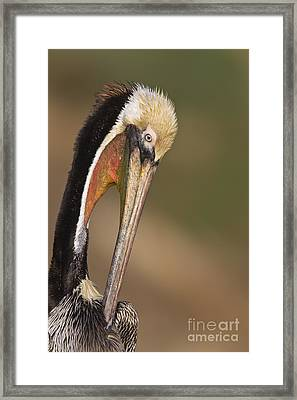 Preening Pelican Framed Print by Bryan Keil