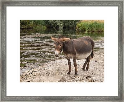 Pregnant Donkey Framed Print by Ron St Jean