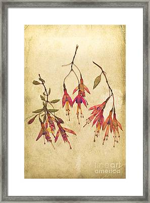 Pressed Fuchsia Flowers Framed Print by Jan Bickerton