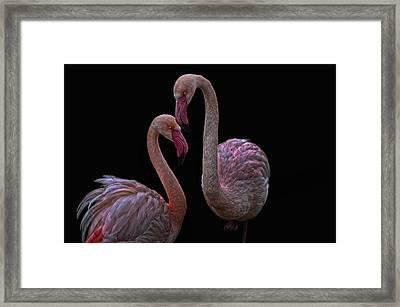 Pretty Flamingos Framed Print by Joachim G Pinkawa