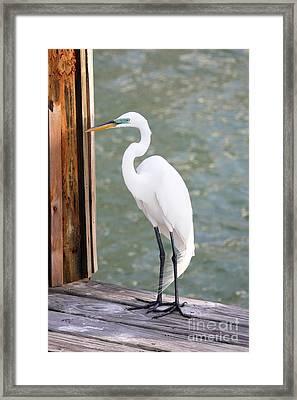 Pretty Great Egret Framed Print by Carol Groenen