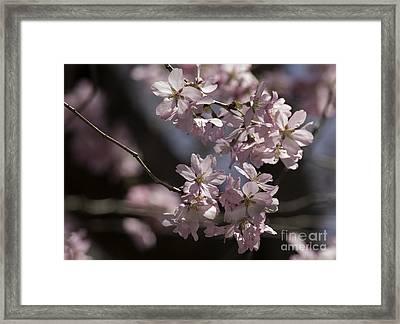 Pretty In Pink Blossom  Framed Print by Arlene Carmel