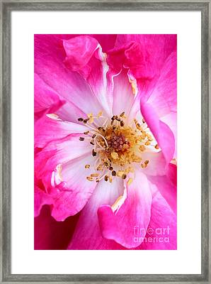 Pretty In Pink Rose Close Up Framed Print by Sabrina L Ryan