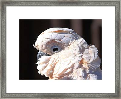 Pretty In Pink Salmon-crested Cockatoo Portrait Framed Print by  Andrea Lazar